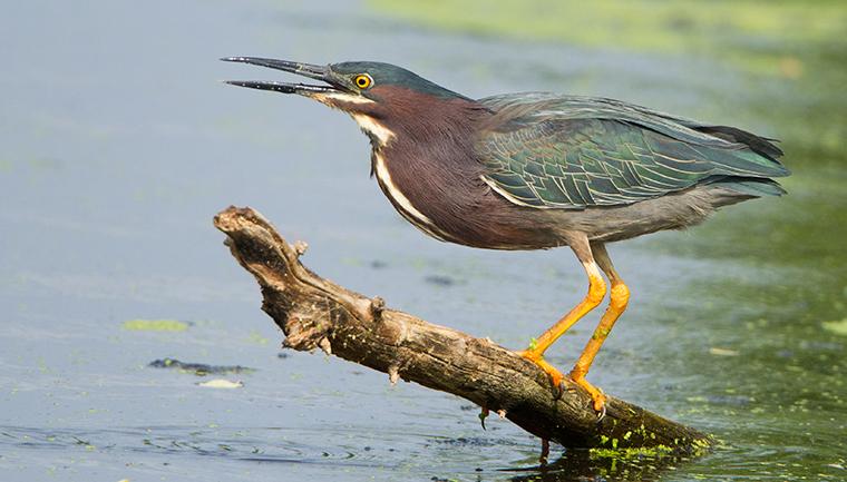 Green Heron Minnesota Breeding Bird Atlas